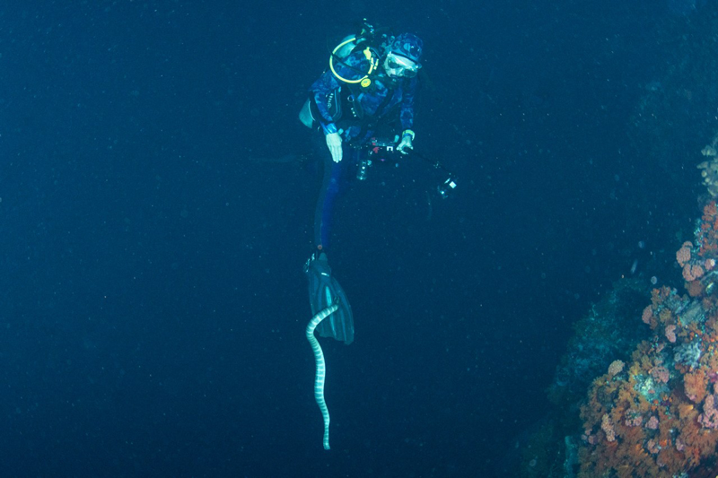 Chris Summers night diving with sea snakes, Banda Sea, Indonesia 2019.